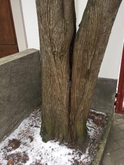 Topeltladvaga elupuu, mille üks haru võib halbade ilmastikuolude tõttu murduda.