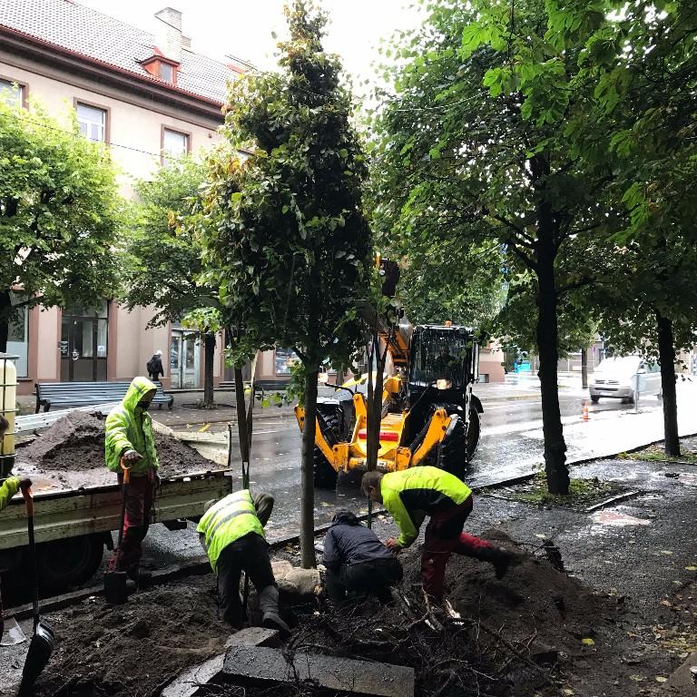 Suure puu istutamine Pärnus
