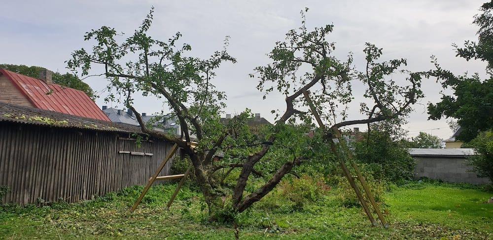 Renoveeritud vana õunapuu