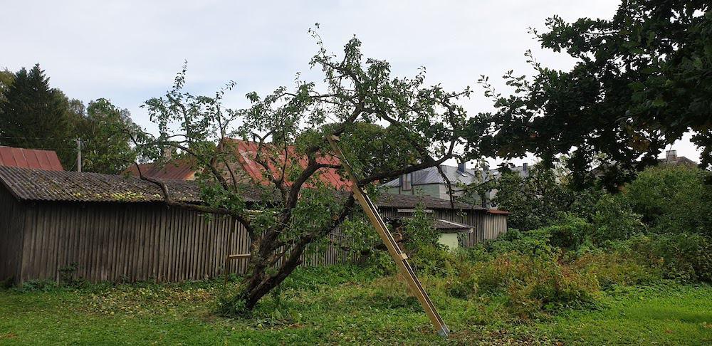 Toestatud vana õunapuu