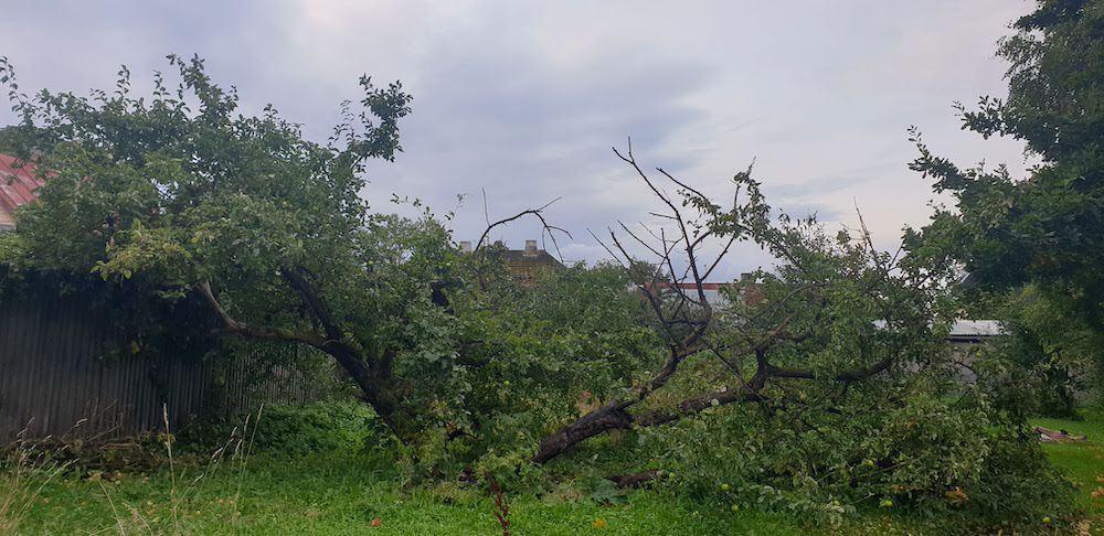 Vana ja murdunud õunapuu