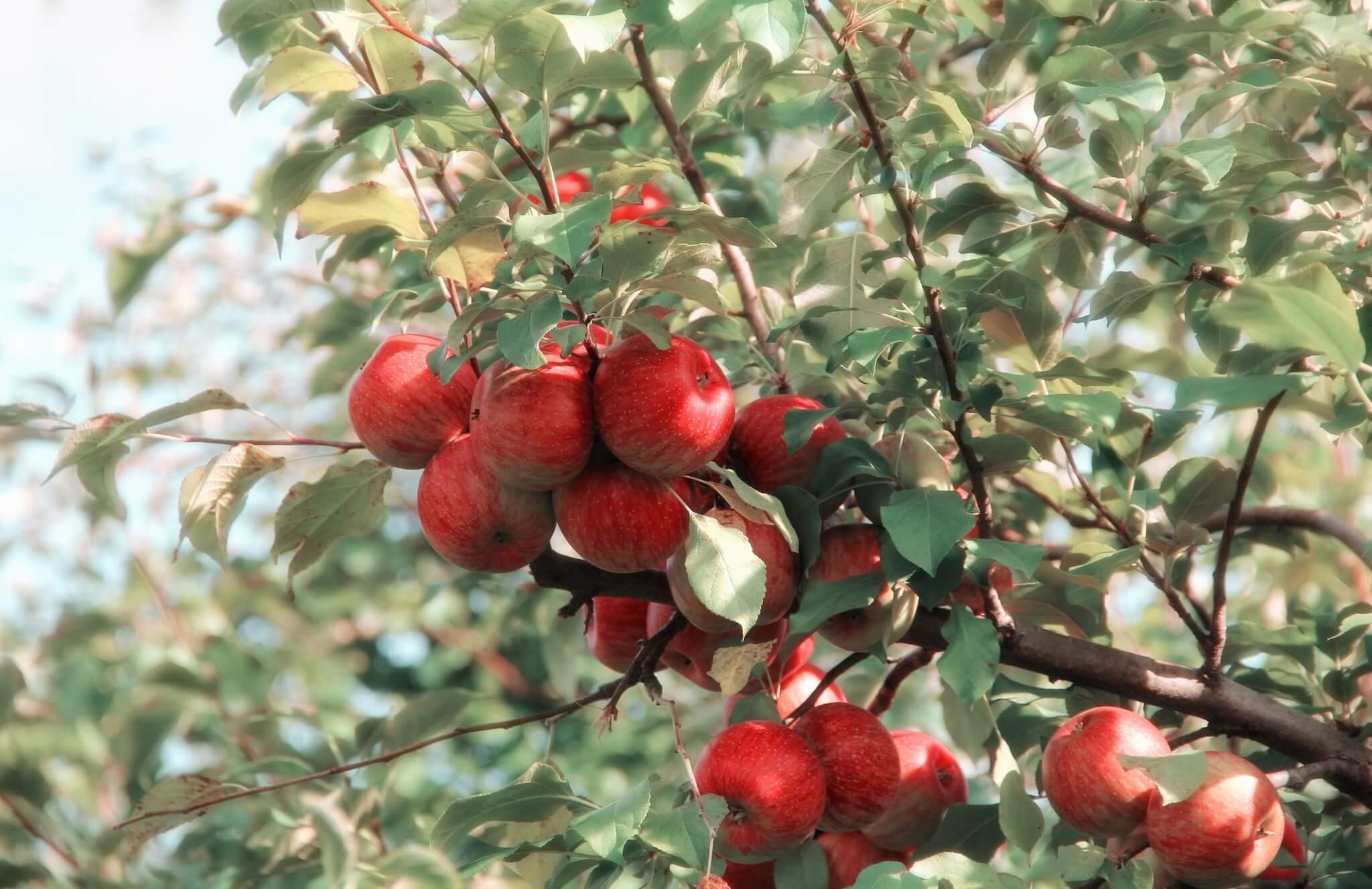õunapuu oks