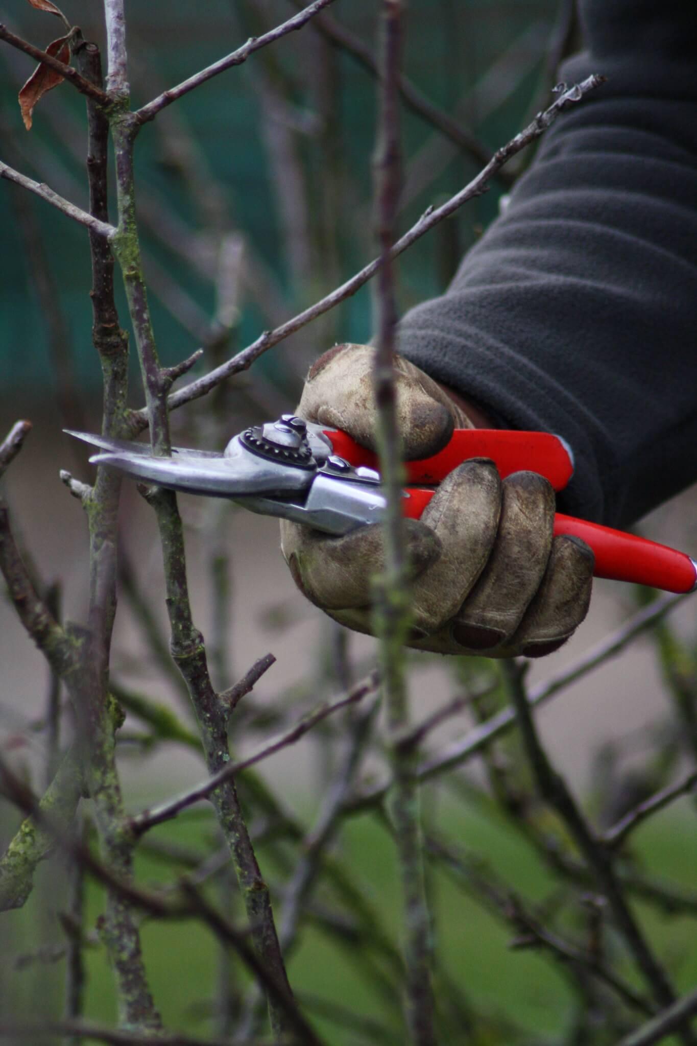 Õunapuude lõikamine on lihtne, kui teada mõnd olulist põhimõtet
