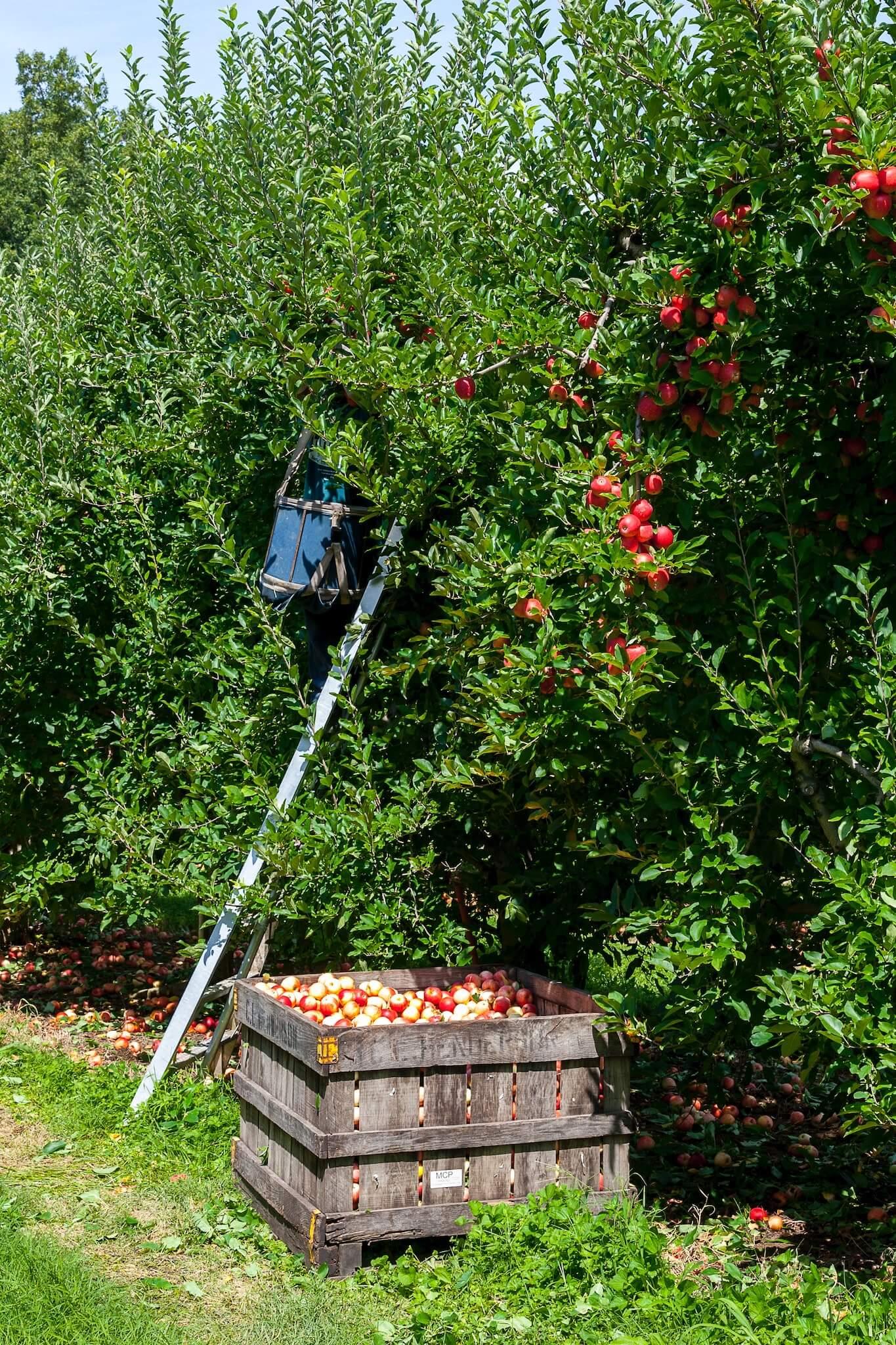õunte korjamine õunapuult