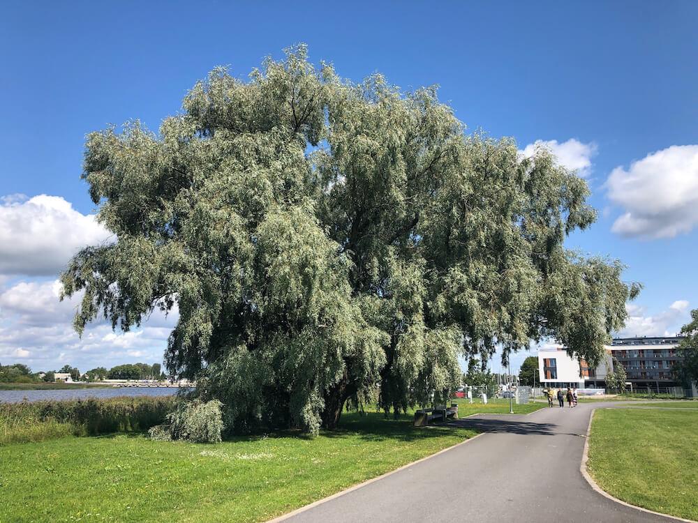 Linnapuude kaitseks arboristi silmade läbi